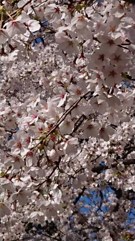 桜見に行ったよ